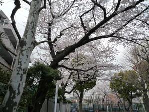 20100404sakura1_2